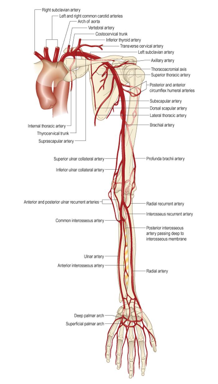 brachialis artrózis kenőcskezelés)