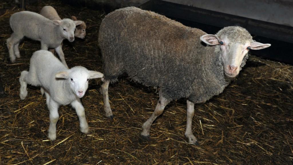 juhok ízületi betegsége)