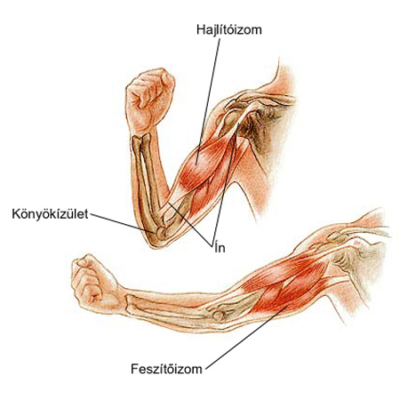 A bicepsz sérülése