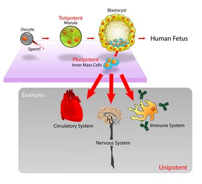 őssejtek ízületi kezelése)