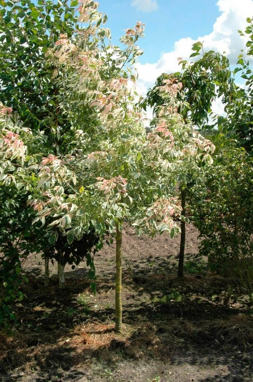 Silver Maple - 100 leggyakoribb észak-amerikai fák