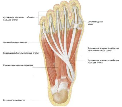 Fájdalom a láb metatarsusában - Homorú-domború lencse