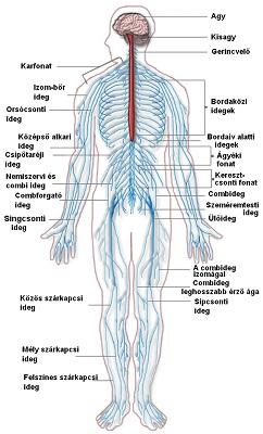 ízületek fáj, mi az oka a könyökízület nem gennyes bursitisének kezelése