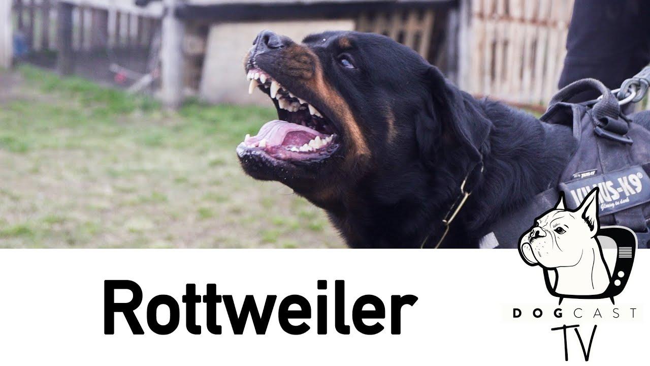 rottweilerek együttes kezelése