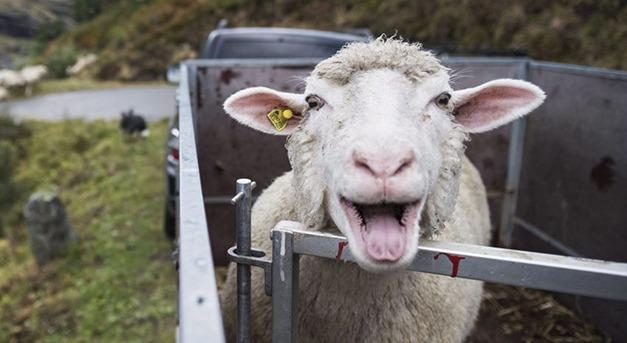 A juh és a kecske sajtos nyirokcsomó-gyulladása - Autovakcina