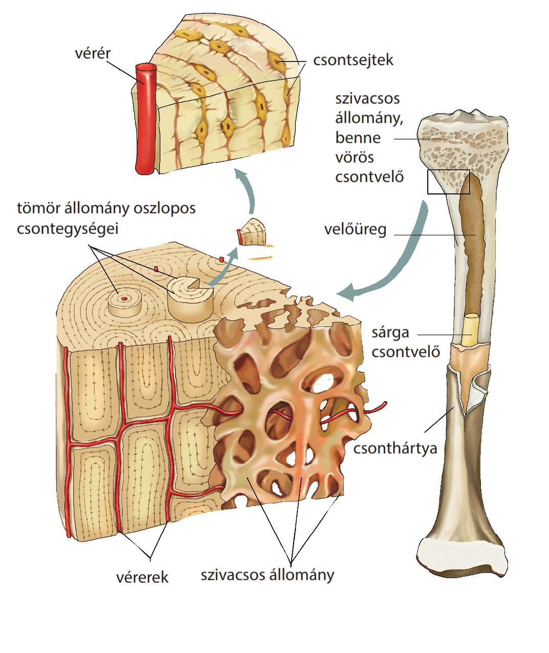 az ízületek és a csontok összes betegsége