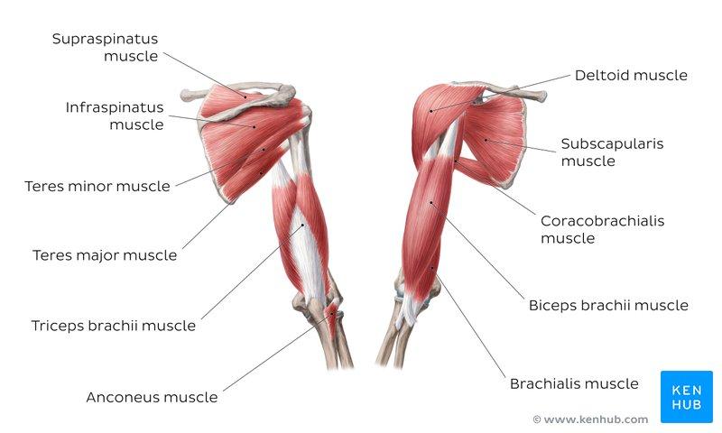 scapularis brachialis artrózis)