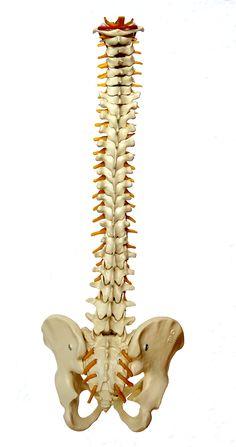 kenőcsfény az izületek és a gerinc lábainak
