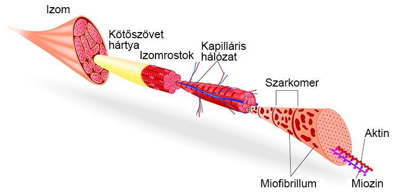 fiziológiai kötőszöveti regeneráció