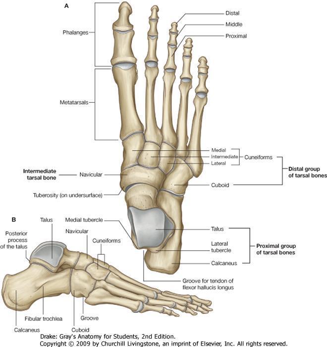 a csontok és a lábak ízületei