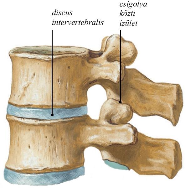 a csigolyák ízületi ízületei l1-s1