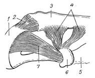 a clavicularis acromialis ízület deformáló artrózisa