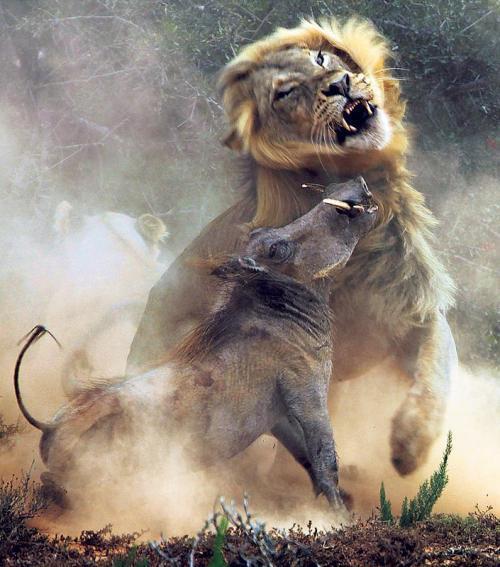 fájdalom az oroszlán vállízületében